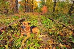 Les repos de chien sur les voies Un chemin de fer dans le tunnel célèbre de forêt d'automne de l'amour a formé par des arbres Kle Images libres de droits