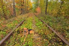 Les repos de chien sur les voies Un chemin de fer dans le tunnel célèbre de forêt d'automne de l'amour a formé par des arbres Kle Photo libre de droits