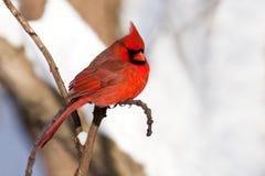Les restes cardinaux dans la neige ont couvert la forêt Photographie stock