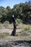 Les restes scéniques d'un arbre brûlé dans Whiteman se garent Image stock