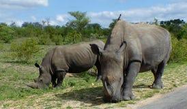 Les rhinocéros enfantent et enfant frôlant avec l'oxpecker sur la mère Photo libre de droits