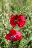 Les rhoeas rouges de pavot de pavot avec des bourgeons à la lumière du soleil photographie stock