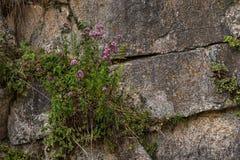 Les roches murent avec les usines sauvages là-dessus Photos stock