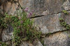 Les roches murent avec les usines sauvages là-dessus Photo stock