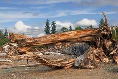 Les rondins, le tronc et le fossile d'arbre en mer échouent Image stock