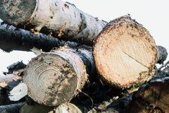 Les rondins sciés ont mangé dans le mâle en bois de forêt Fond images libres de droits