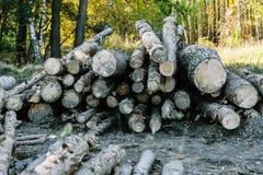 Les rondins sciés ont mangé dans le mâle en bois de forêt Fond photo libre de droits