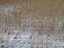 Les roseaux attendent les oiseaux pour venir et également le ressort pour venir Image stock