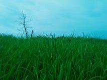 Les roseaux de vert Photo libre de droits