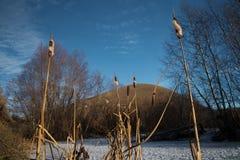 Les roseaux sur le fond du ciel bleu Photographie stock