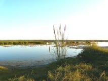 Les roseaux sur le lac Photo libre de droits