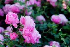 Les roses roses images libres de droits