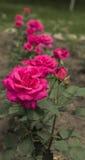 Les roses Photo libre de droits