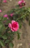 Les roses Photographie stock libre de droits