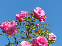 Les roses roses Image stock