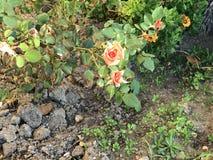 Les roses au jardin public photographie stock