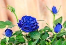 Les roses bleu-foncé fleurissent le buisson avec des bourgeons, verdissent des feuilles, se ferment  Photo libre de droits