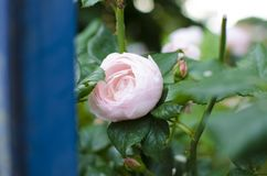 Les roses de floraison roses sont derrière une barrière bleue Photo libre de droits