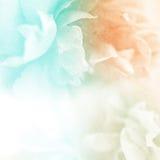 Les roses douces de couleur fleurissent dans le doux et brouillent le style sur la texture de papier de mûre Photographie stock libre de droits