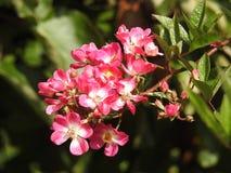 Les roses en dépit de leurs épines sont des fleurs sensibles qui embaument l'environnement Images libres de droits