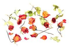 Les roses et les pétales défraîchis ont dispersé sur le fond blanc Photos libres de droits