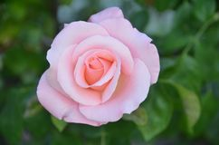 Les roses roses fleurissent l'Espagne image stock