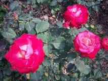 Les roses fleurissent sur l'arbre dans la nature de roseraie Photos stock