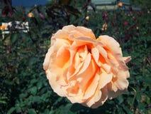 Les roses fleurissent sur l'arbre dans la nature de roseraie Photo stock