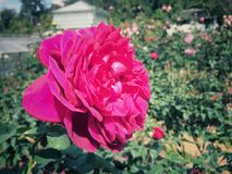 Les roses fleurissent sur l'arbre dans la nature de roseraie Images stock