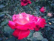 Les roses fleurissent sur l'arbre dans la nature de roseraie Photographie stock libre de droits