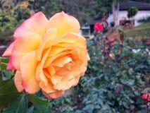 Les roses fleurissent sur l'arbre dans la nature de roseraie Photographie stock