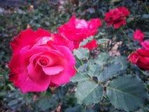 Les roses fleurissent sur l'arbre dans la nature de roseraie Photos libres de droits