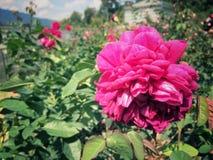 Les roses fleurissent sur l'arbre dans la nature de roseraie Photo libre de droits
