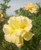 Les roses focalisées artistiques se ferment  image libre de droits