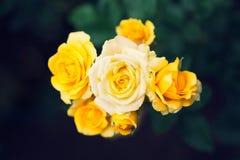 Les roses jaunes dans le jardin, vue supérieure avec l'obscurité ont brouillé le backgr de jardin Images stock