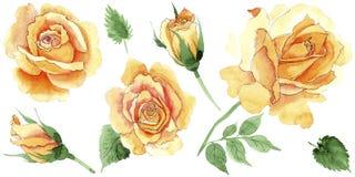 Les roses jaunes de thé-hybride de Wildflower fleurissent dans un style d'aquarelle d'isolement Photos libres de droits