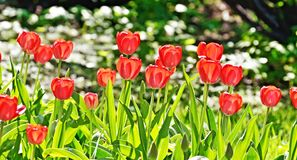 Les roses lumineuses se développent sur le lit de fleur image libre de droits