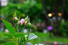 Les roses roses naturelles dans le jardin est très belle, semble régénérante image libre de droits