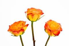 Les roses oranges de rouge à lievres du plan rapproché trois ont isolé le blanc Photos libres de droits