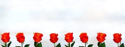 Les roses oranges ont aligné dans une rangée sur le fond blanc Images libres de droits