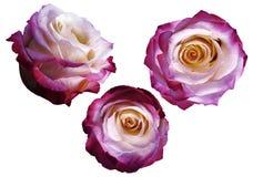 Les roses rose-blanc-jaunes réglées sur un blanc ont isolé le fond avec le chemin de coupure Aucune ombres closeup image stock