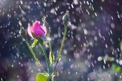 Les roses rose-clair dans le jardin en été pleuvoir Photos libres de droits
