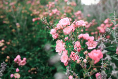 Les roses roses et les feuilles vertes Image stock
