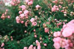 Les roses roses et les feuilles vertes Photos libres de droits