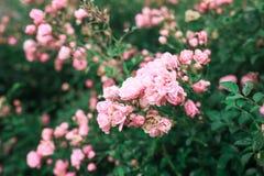 Les roses roses et les feuilles vertes Image libre de droits