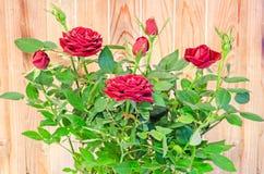Les roses rouge foncé fleurissent le buisson avec des bourgeons, verdissent des feuilles, se ferment  Photographie stock