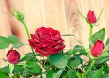 Les roses rouge foncé fleurissent le buisson avec des bourgeons, verdissent des feuilles, se ferment  Image stock