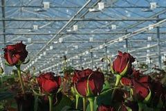 Les roses rouges se développent en serre chaude néerlandaise moderne Image stock