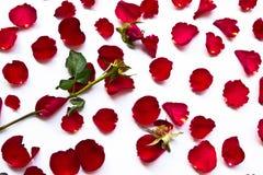 Les roses rouges se fanent Photographie stock