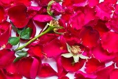 Les roses rouges se fanent Image libre de droits